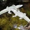 Des alligators albinos à Paris… Aquarium tropical du Palais de la Porte Dorée