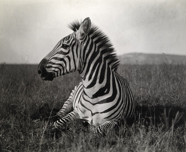 Exposition photos 125ans © National Geographic_Carl E. Akeley